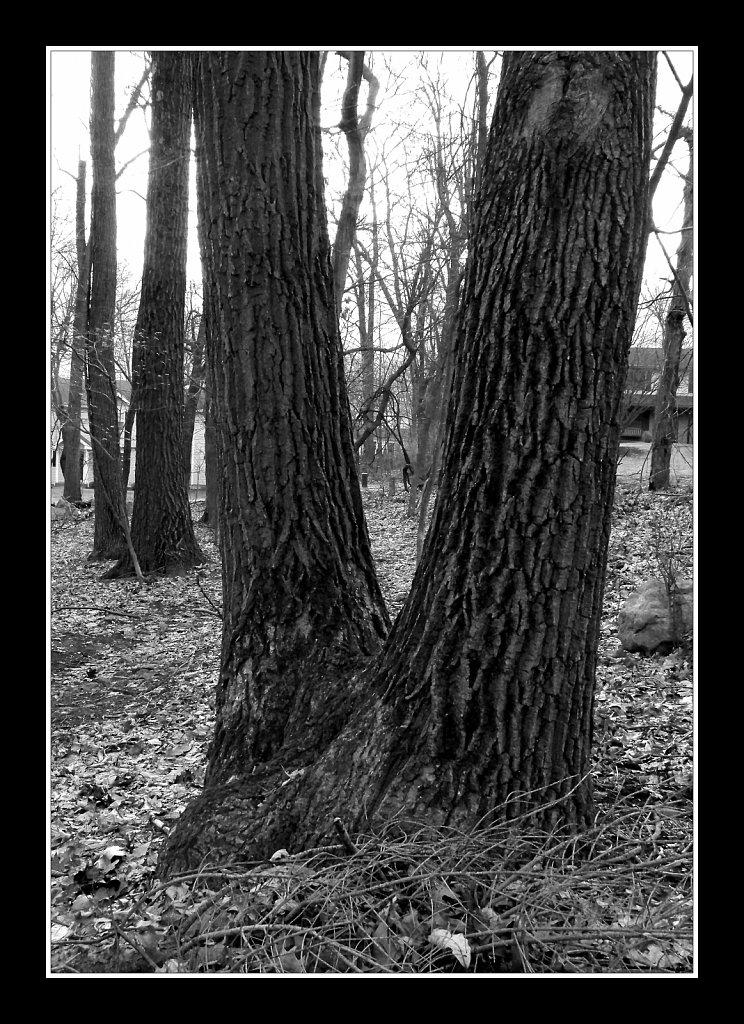 Twin Trunks