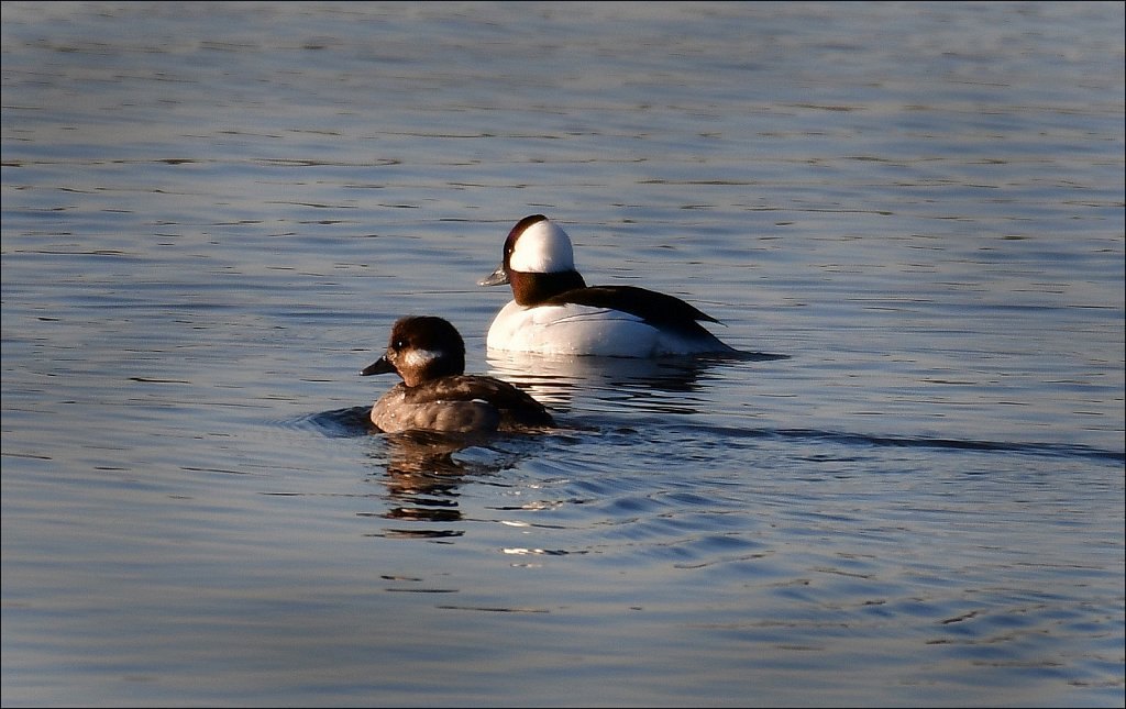 20200223-Male-Female-Bufflehead-6493-copy.jpg