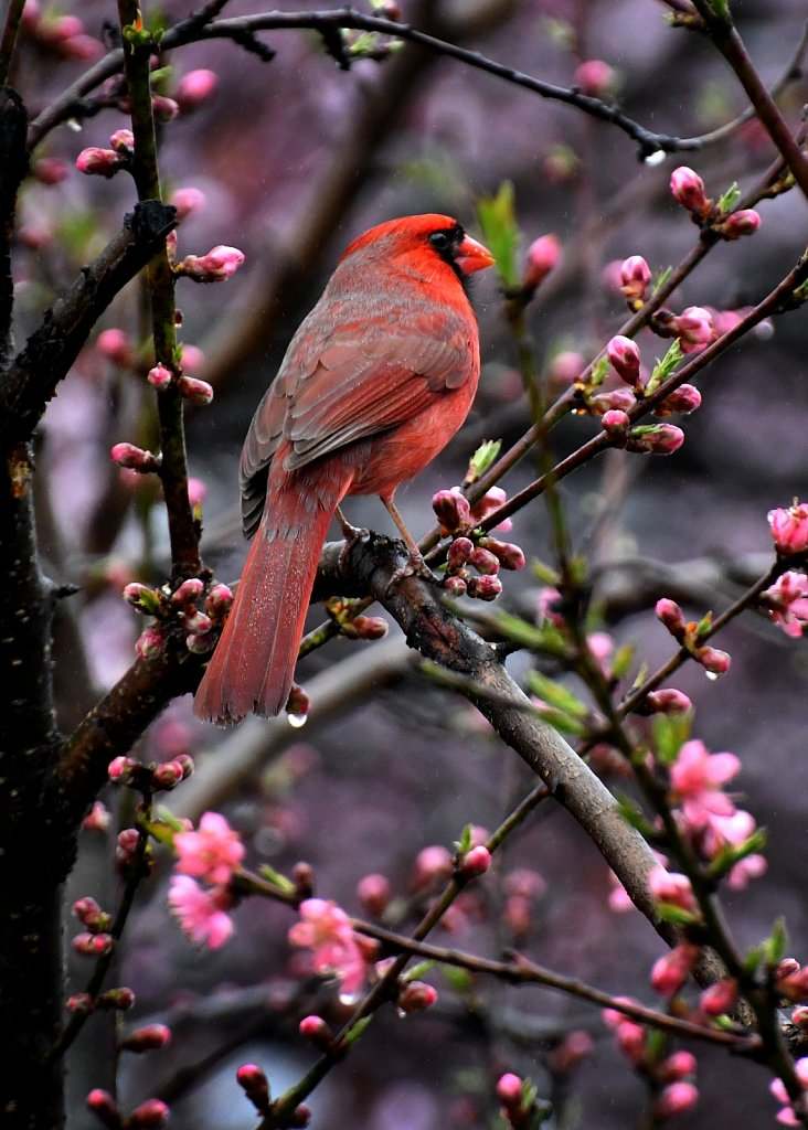 Cardinal-in-Peach-Tree-6728-copy.jpg