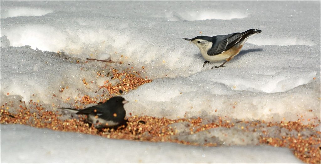 Junco and Nuthatch
